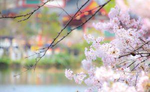 弁天堂を眺める桜
