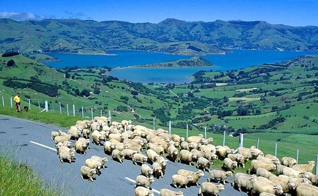 ニュージーランドのヒツジ